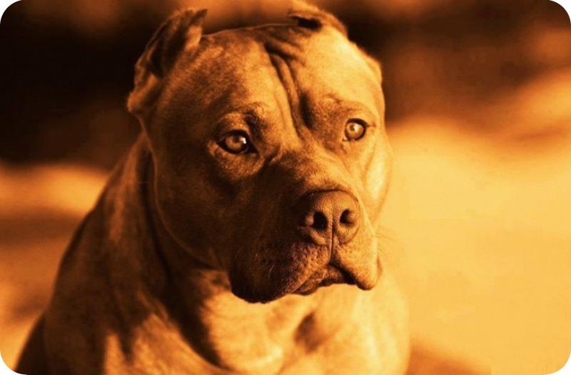Cães_pitbulls